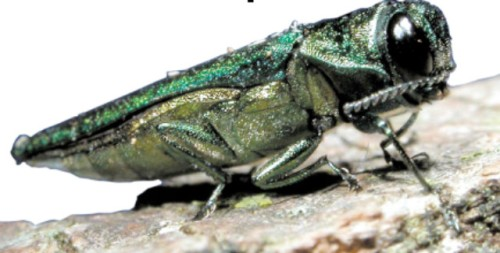 20130513-Emerald-Ash-Borer