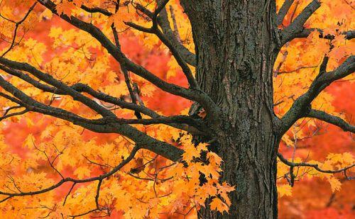 [Big Oak Tree in Fall Colours]