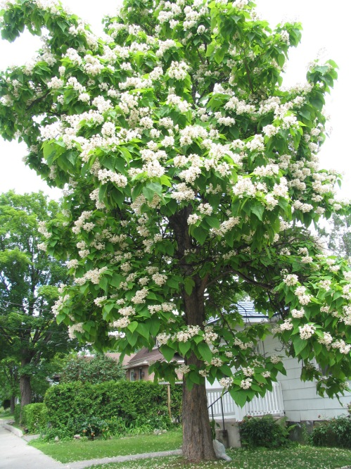 [Flowering Catalpa Tree in a Small Front Yard]