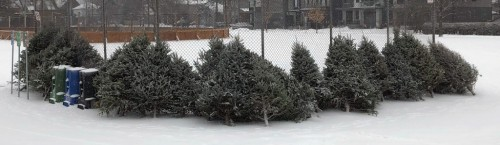 [Christmas trees stacked up against the baseball diamond fence at Champlain Park, Ottawa, ready for a bonfire or windbreak]