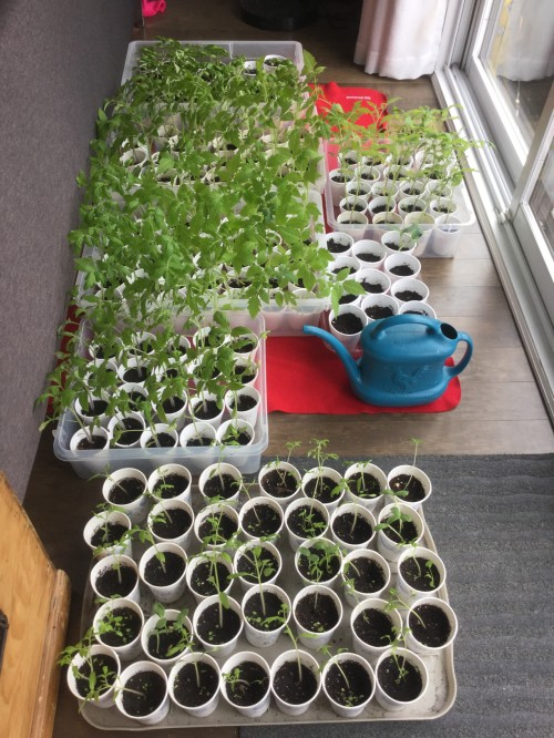 [Rows of Styrofoam Cups with Tomato Seedlings]