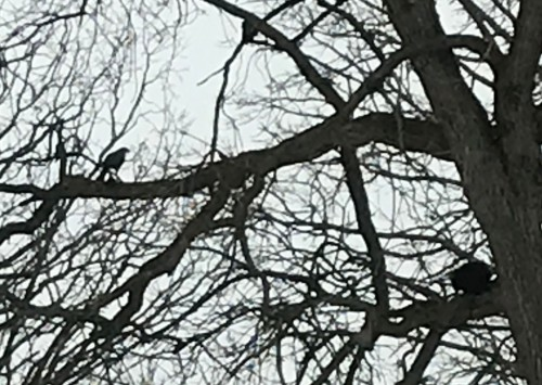[Peregrine Falcon in a Tree]