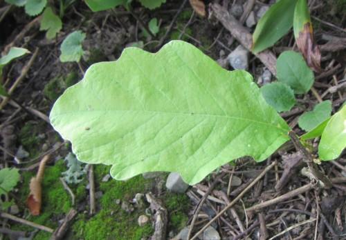 [Small Oak Sapling - just a leaf]