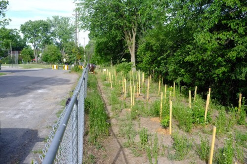 [Saplings with Stakes on Pontiac where there were parking spaces]