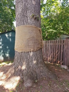 [Oak tree with burlap sack circumference guard]